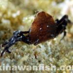沖縄本島のタイドプールで撮影した甲殻類の水中写真