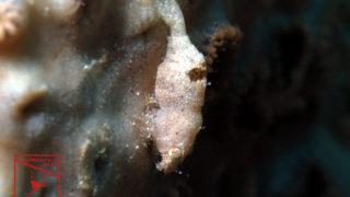 沖縄本島のダイビングで撮影したナガレモエビ属の一種の水中写真