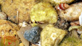 ナメラハゼの幼魚