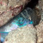 ブダイの寝るとき2・沖縄本島ダイビング水中写真