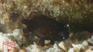 沖縄本島のダイビングで撮影したハナオコゼの水中写真