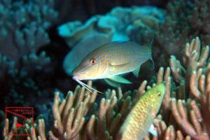 沖縄本島のダイビングで撮影した「マルクチヒメジ」の水中写真