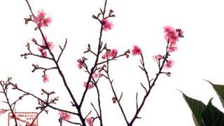 沖縄の桜カンヒザクラ(寒緋桜)-国際通りで撮影