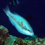 沖縄本島のダイビングで撮影したイチモンジブダイの水中写真