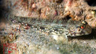 沖縄本島のダイビングで撮影したクツワハゼの水中写真
