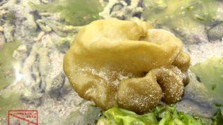 沖縄本島のタイドプールで撮影したフクロノリ