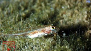 沖縄本島のダイビングで撮影したトンガリハゼ属 1種の水中写真