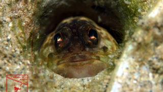 沖縄本島のダイビングで撮影したカエルアマダイの水中写真