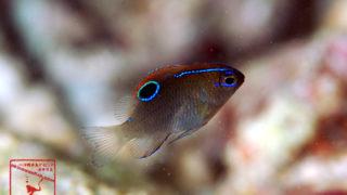 沖縄本島のダイビングで撮影したイチモンスズメダイ幼魚の水中写真