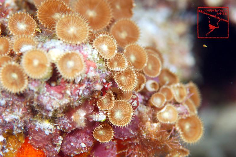 沖縄本島のダイビングで撮影したタマイワスナギチャクの水中写真