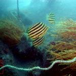 伊豆・大瀬崎湾内のダイビングで撮影したカゴカキダイ成魚の水中写真
