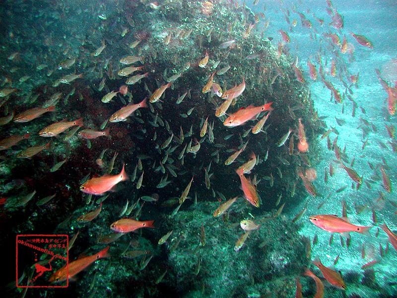 伊豆ダイビングで撮影したクロホシイシモチの水中写真