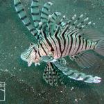 沖縄本島のダイビングで撮影したミノカサゴの水中写真