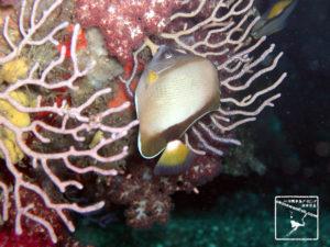 伊豆ダイビングで撮影したシラコダイの水中写真