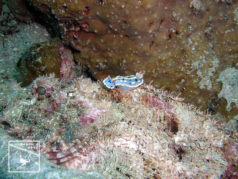 紀伊半島のダイビングで撮影したアオウミウシの水中写真