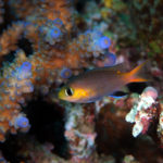 沖縄本島のダイビングで撮影したコビトスズメダイの水中写真