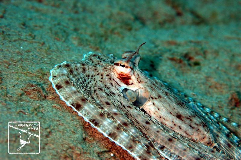 沖縄本島のダイビングで撮影したミミックオクトパスの水中写真