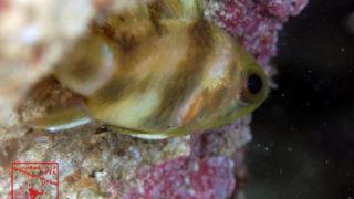 沖縄本島のタイドプールで撮影したカクレテンジクダイの水中写真