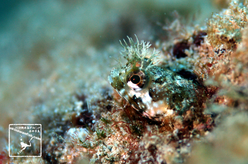 沖縄本島のダイビングで撮影したシズミイソコケギンポの水中写真