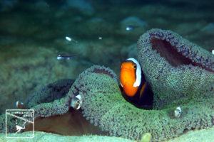 沖縄本島のダイビングで撮影したトウアカクマノミ成魚の水中写真