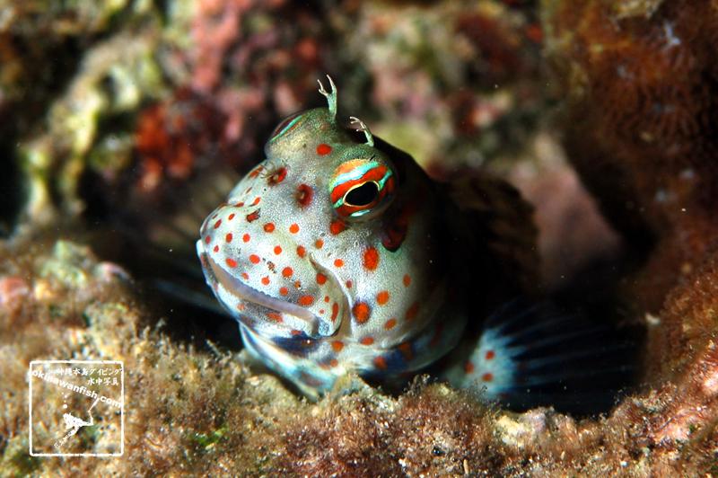 沖縄本島 ダイビング で撮影した モンツキカエルウオ の 水中写真 ( 5cm SL )