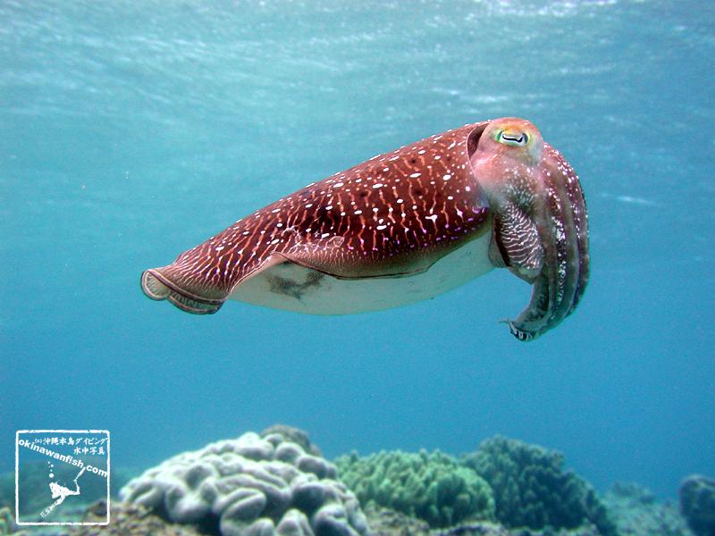 沖縄本島のダイビングで撮影したコブシメの水中写真