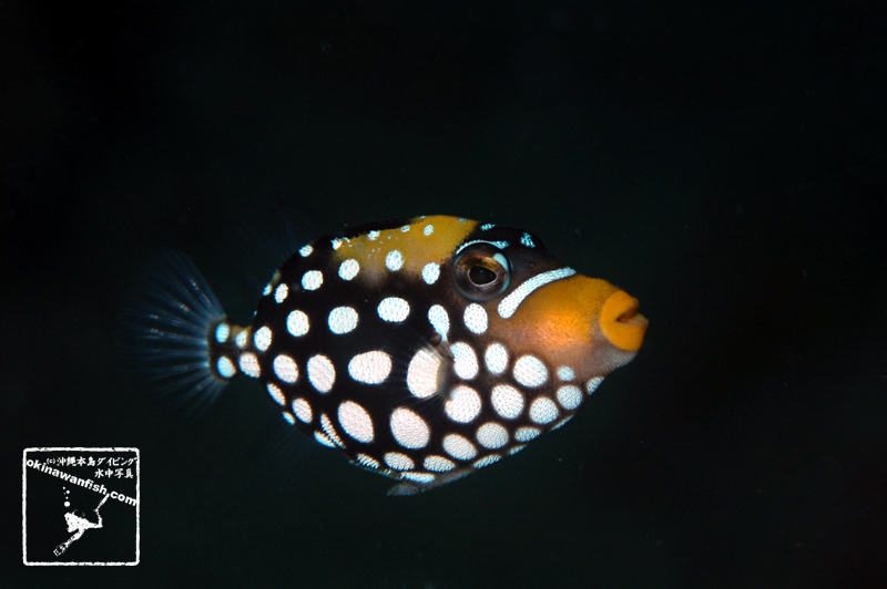 沖縄本島のダイビングで撮影したモンガラカワハギ幼魚の水中写真