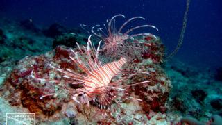 沖縄本島のダイビングで撮影したハナミノカサゴの水中写真