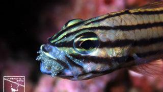 沖縄本島のダイビングで撮影したヤライイシモチ口内保育の水中写真