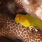 沖縄本島のダイビングで撮影したインドカエルウオ(幼魚)の水中写真