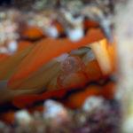 沖縄本島のダイビングで撮影したクロチョウカクレエビの水中写真