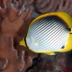 沖縄本島のダイビングで撮影したアケボノチョウチョウウオの水中写真