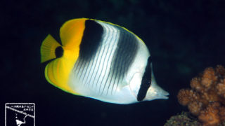 沖縄本島のダイビングで撮影したスダレチョウチョウウオの水中写真