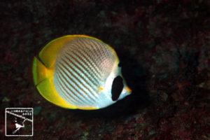 沖縄本島のダイビングで撮影したクラカケチョウチョウウオの水中写真