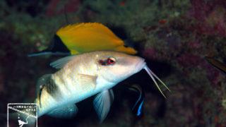 沖縄本島のダイビングで撮影したオジサンの水中写真