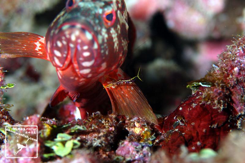 沖縄本島のダイビングで撮影したミカヅキコモンエビの水中写真