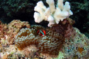 沖縄本島のダイビングで撮影したサンゴの白化現象 水中写真