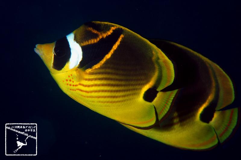 沖縄本島のダイビングで撮影したチョウハンの水中写真