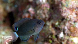 沖縄本島のダイビングで撮影したメガネスズメダイの水中写真