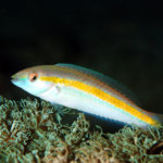 沖縄本島のダイビングで撮影したキスジキュウセン(雌相)の水中写真