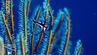 沖縄本島のダイビングで撮影したホホスジタルミ幼魚の水中写真