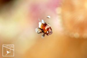 沖縄本島のダイビングで撮影したチョウチョウコショウダイの幼魚の水中写真
