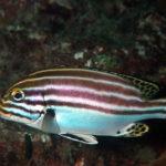 沖縄本島のダイビングで撮影したヒレグロコショウダイの水中写真