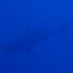 カマストガリザメ