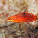 ニシキキュウセン | 幼魚