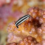マナベベラ幼魚