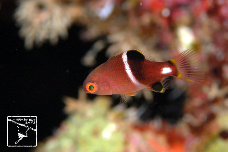 沖縄本島のダイビングで撮影したタキベラ(若魚)の水中写真