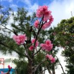 日本一早い桜ではなかった