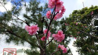 最南端の桜 ヒカンザクラが開花