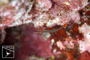 沖縄本島のダイビングで撮影したヒバシヨウジの水中写真 (7cm TL)